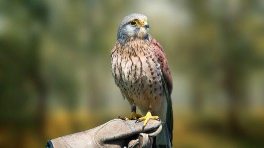 Schottische Vögel: Greifvögel, Gartenvögel & mehr
