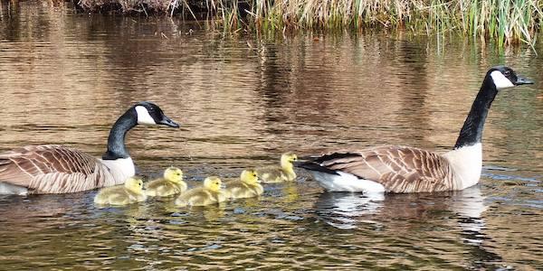 Kanadagänse-Babys und Entenküken